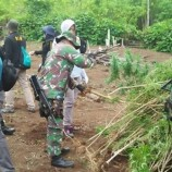 9 Hektare Ladang Ganja Di Bakar Oleh Polda Aceh