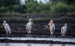Bangau Bluwok Hampir Punah Oleh International Union for Conversation of Nature